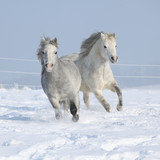 Fototapety Two gorgeous ponnies running together in winter