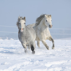 Two gorgeous ponnies running together in winter