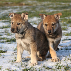 Two gorgeous puppies of wolfdog in winter
