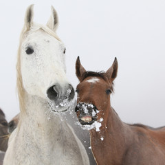 Mare with foal in winter