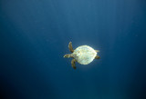 Hawksbill sea turtle in blue ocean Raja Ampat