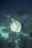 Hawksbill sea turtle Raja Ampat islands