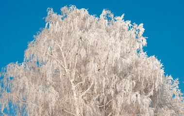 Frosty tree and blue clear sky