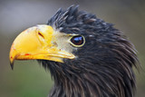 Closeup portrait of a Steller's sea-eagle (Haliaeetus pelagicus)