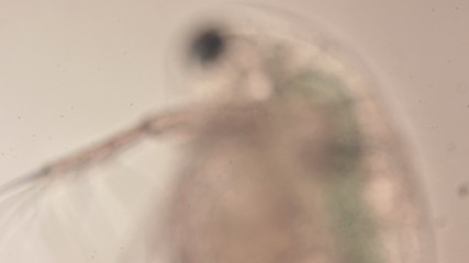 water flea microorganism under a microscope rack focus