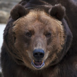 Eye to eye with a brown bear. The head of a grizzly