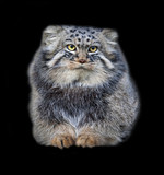 Animal portrait of a Pallas' cat or manul cat on black.