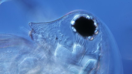 water flea microorganism under a microscope eye close-up