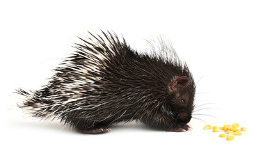 baby porcupine isolated