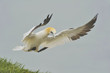 Northern Gannet (Morus bassanus) applies the airbrakes to land