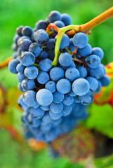 Blaue Weintraube am Rebstock im Weingarten