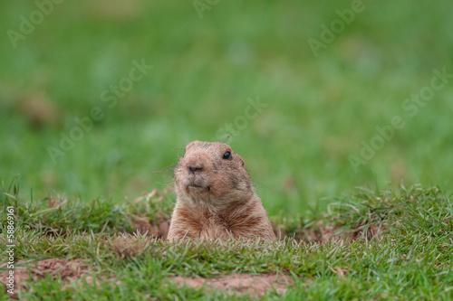 Foto op Aluminium Eekhoorn Marmot