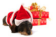 Wire haired dachshund with Christmas hat
