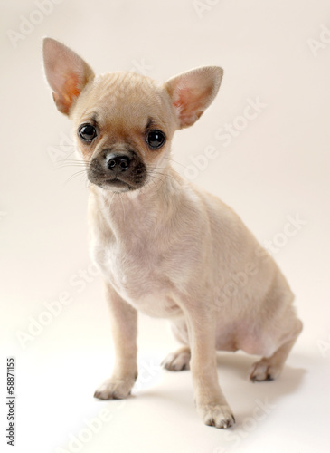 gentle fawn Chihuahua puppy sitting on neutral background
