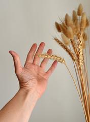 mano che tocca una spiga di grano