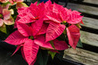 Poinsettia plants in bloom as Christmas decorations