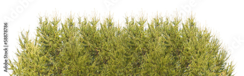 green firs stripe isolated on white