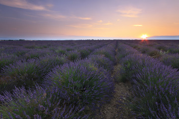 Sunrise over lavender field - Valensole