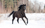 Black stallion running in winter