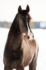 Portrait of black stallion in winter