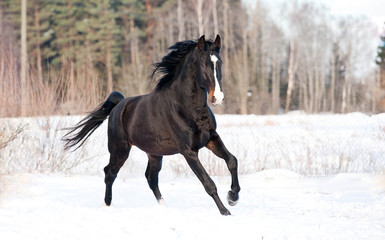 Black stallion running in winter
