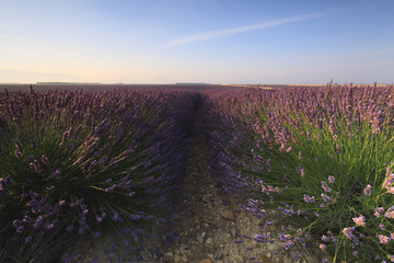 Sunrise over a lavender field, Valensole, Provence, France