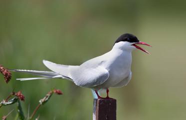 Common Tern, artic tern