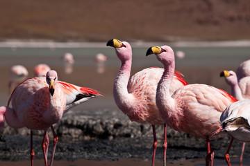 Bolivia - Flamingo
