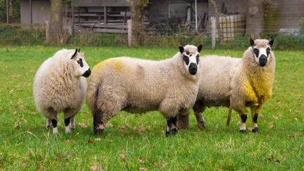 Three Kerry sheep