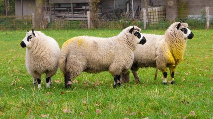 Kerry sheep