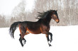 Beautiful bay horse running trot in winter