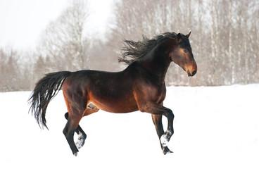 Beautiful bay horse running trot in winter