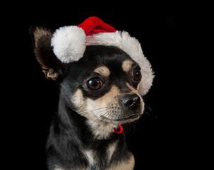 Pet dog wearing Santa hat