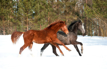 Two young horses running in winter