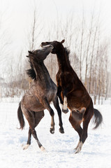Two young horses playing and rearing up in winter