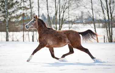 Beautiful  gray arabian horse running in winter