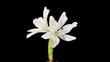 Blooming white lily flower buds ALPHA matte (Lilium Annemaries D