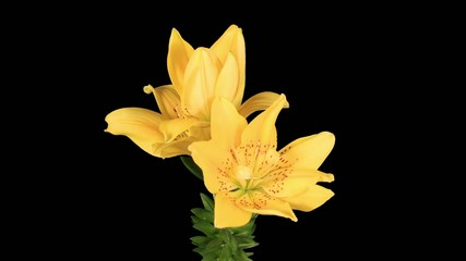 Flowering yellow lily on the black background (L. prominet)