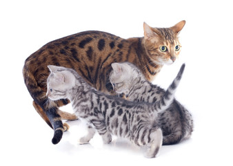 bengal kitten and mother