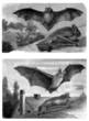 Various Bats - Chauves-Souris - Fledermaus
