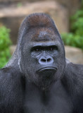 Closeup portrait of a gorilla male, severe silverback
