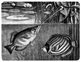 Sea-Fishes : Toxotes & Chaetodon