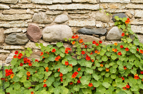 Blossoming nasturtiums against an ancient stone wall
