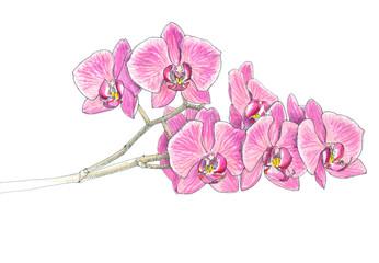 orchid, felt-tip pen