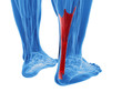 achilles tendon with lower leg muscles - 58900135