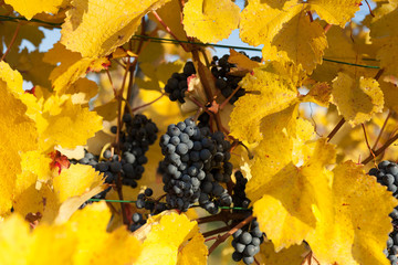 Blaue Weintrauben mit gelben Blätter