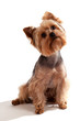 Yorkshire Terrier, sitting and looking at camera