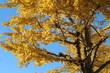 黄色く紅葉するイチョウの木