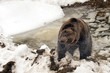 Black bear brown grizzly in winter