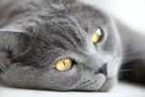 close-up snout of gray british cat, selective focus poster